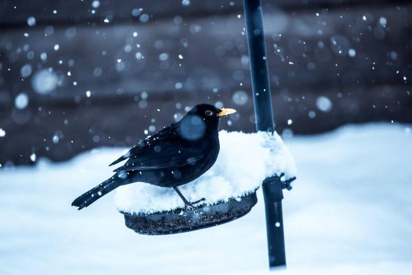 Preview wallpaper birds, crow, snow, winter 1920x1080