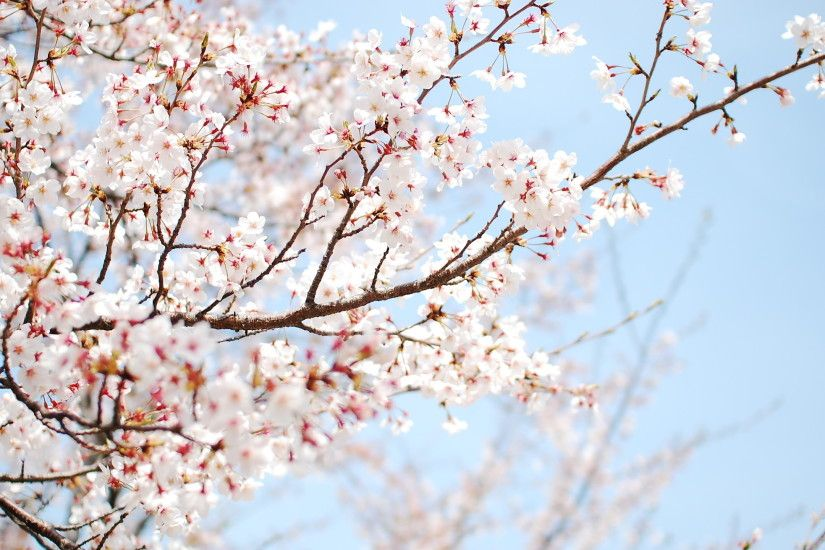 Amazing Cherry Blossom Wallpaper; Cherry Blossom Wallpaper