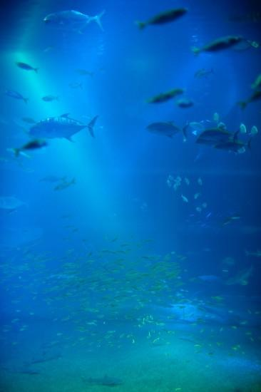Background of a large marine aquarium tank with shoals of fish swimming  through the blue water