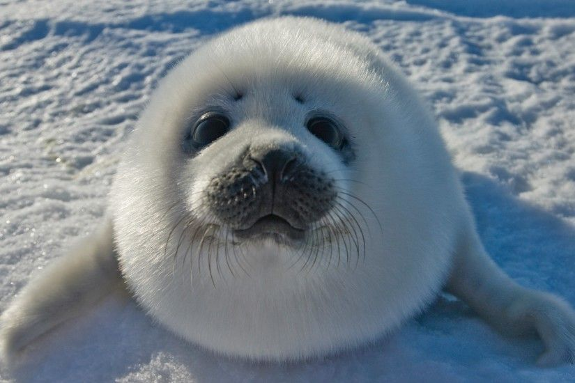 cute baby seal wallpaper