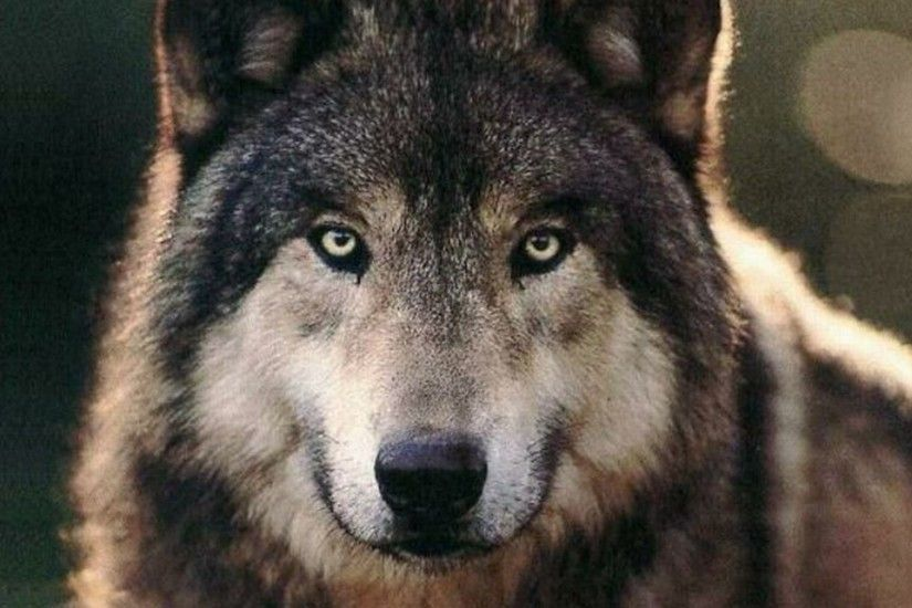The Wolf Wallpapers HD Wallpapers 1920×1080 Wolves HD Wallpapers (45  Wallpapers) |