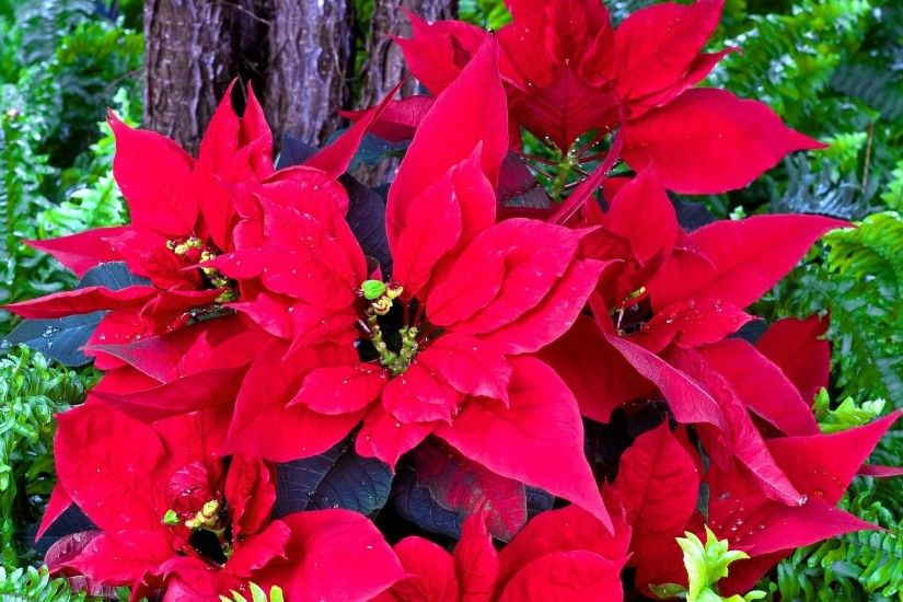 poinsettia bright greens flowers