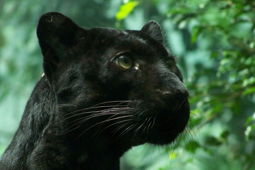 2560x1440 Wallpaper black panther, wildcat, foliage
