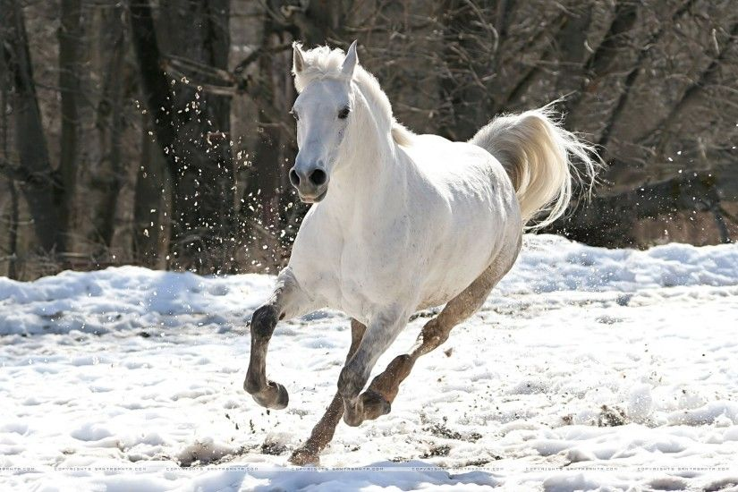"American Quarter Horse ""The Great White Horse""-beautiful"