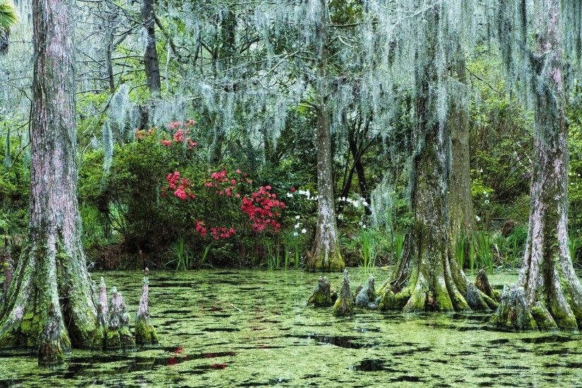 Cypress Trees with Spanish Moss and azalea bushes in background, Magnolia  Plantation, Charleston, South Carolina located off Ashley River Road