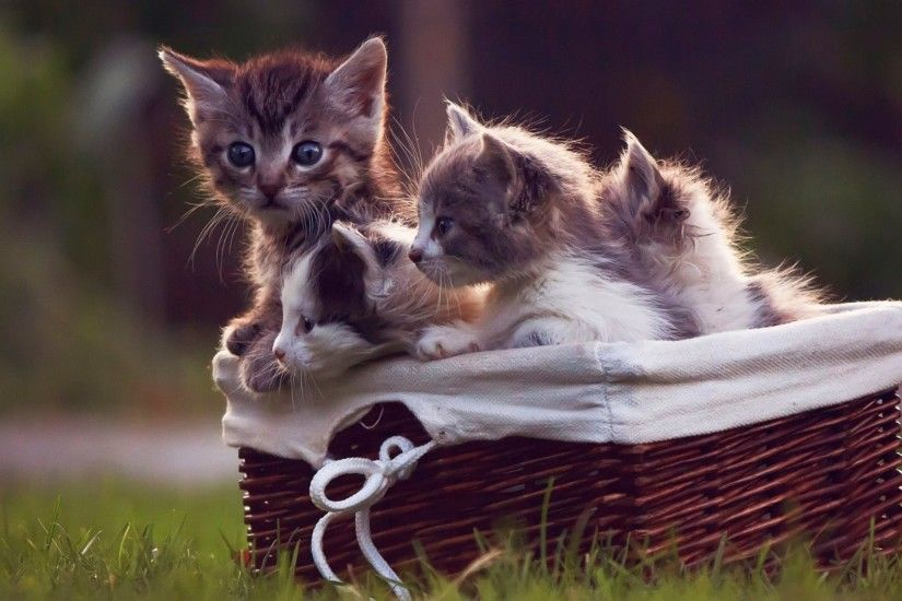 Cats Tag - Kitten Kittens Cats Cute Baby Cat Background Picture Animal for  HD 16: