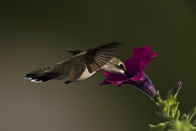 Gallery for Hummingbirds and Purple Flowers. hummingbird nectar purple  flower picking wide hd wallpaper is a lovely background.
