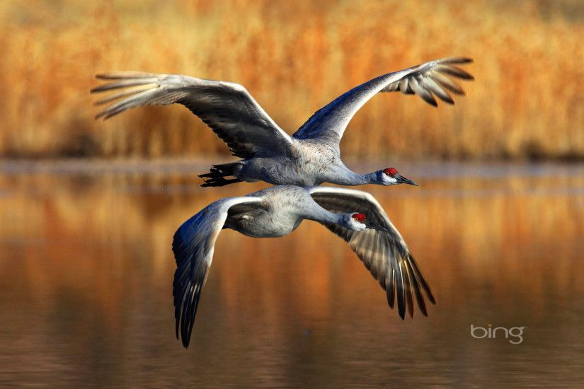 sandhill cranes flying bing wallpaper