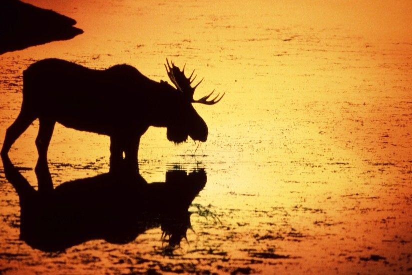 Awesome Moose Wallpaper