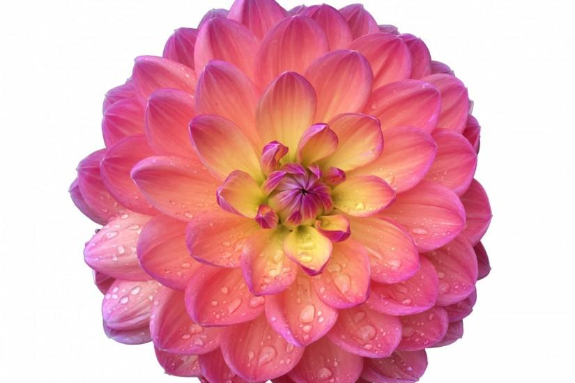 Pink Flower Dahlia Flower Isolated ...