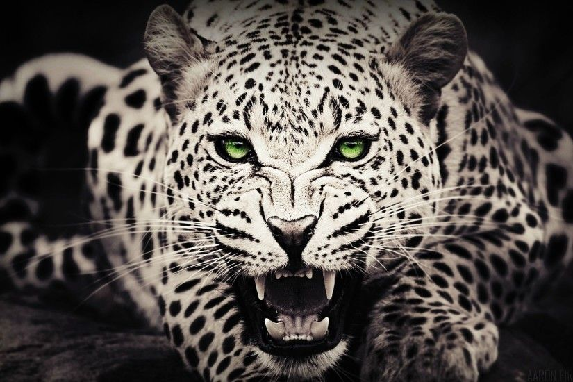 Cheetah Black White Pictures HD Desktop Wallpaper, Background Image
