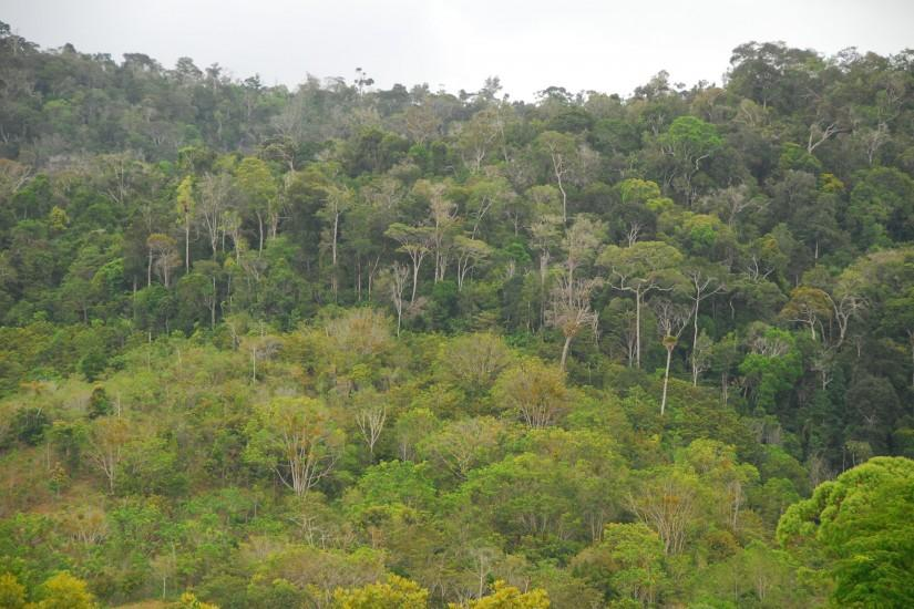 Old-growth Atlantic Rain Forest in background, with second-growth in  foreground in