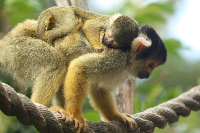 HQ Squirrel Monkey Wallpapers | File 255.88Kb