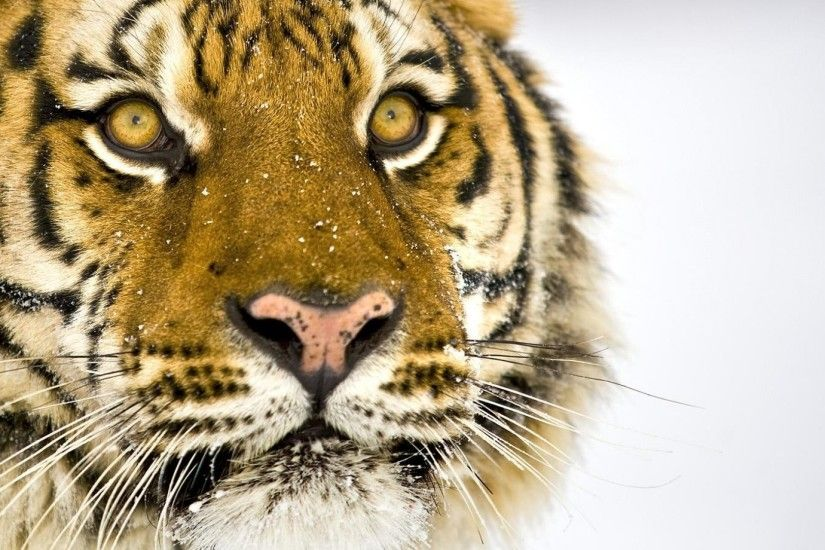 Get the latest tiger, face, striped news, pictures and videos and learn all  about tiger, face, striped from wallpapers4u.org, your wallpaper news  source.