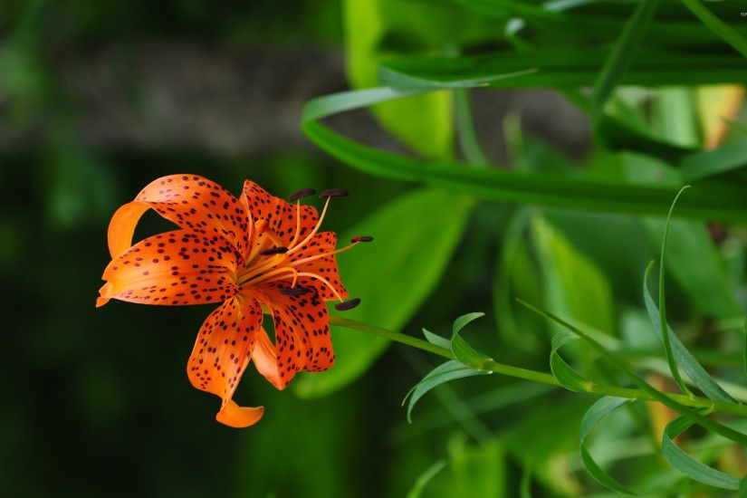 Tiger lily wallpaper 2560x1600 jpg