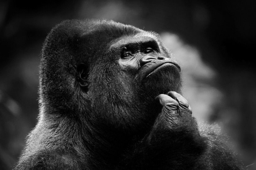 Gorilla Wallpaper 46746