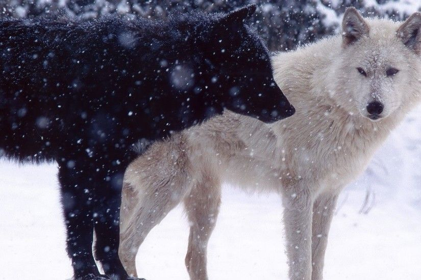 Wolves wallpaper 1920x1080 jpg