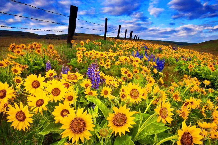 Sunflower Desktop Wallpapers - THIS Wallpaper