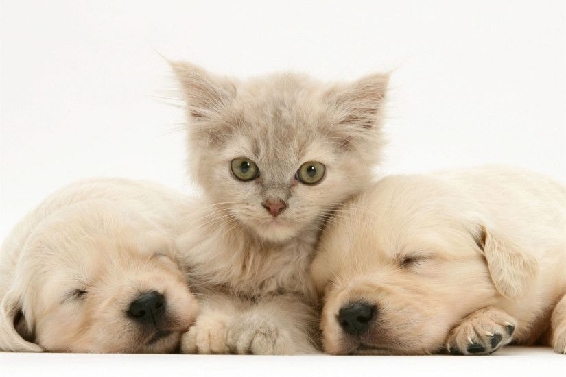 lilac tortoiseshell kitten between two sleeping golden retriever puppies  desktop wallpaper