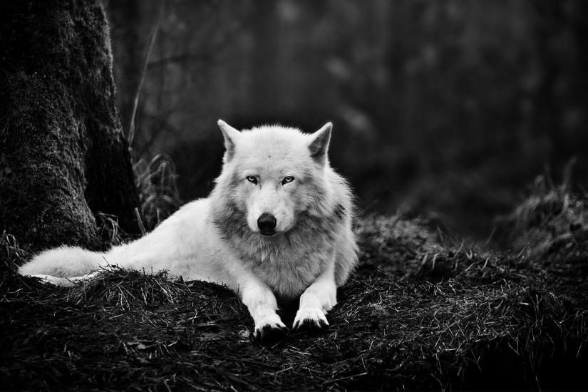 new wolf wallpaper 1920x1200 image