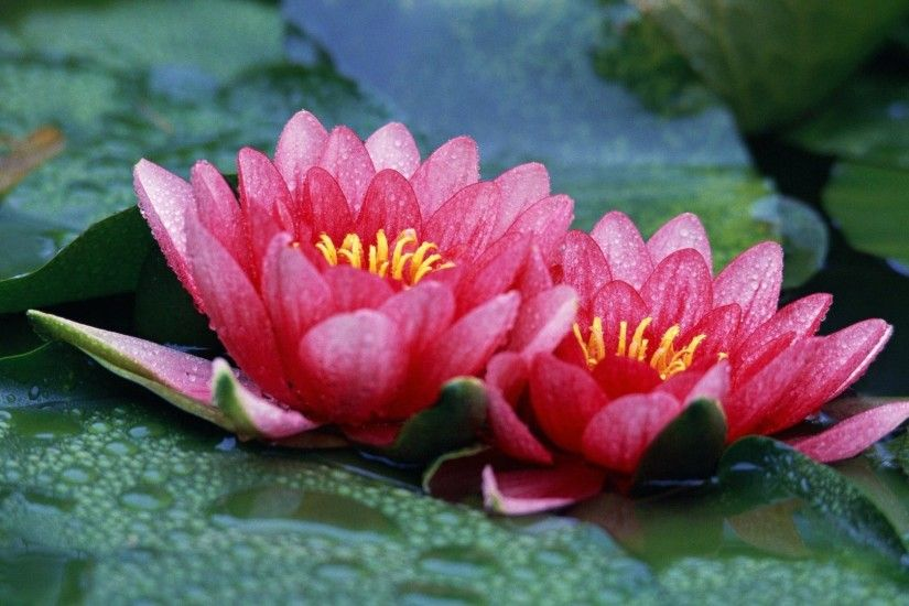 Red Lotus Flower Wallpaper