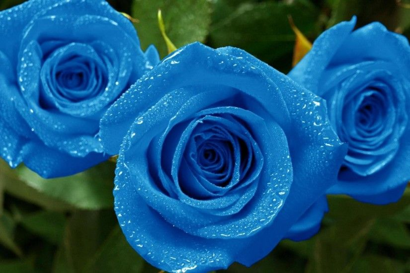 blue-flower-rose-backgrounds-wallpaper-hd-resolution-10