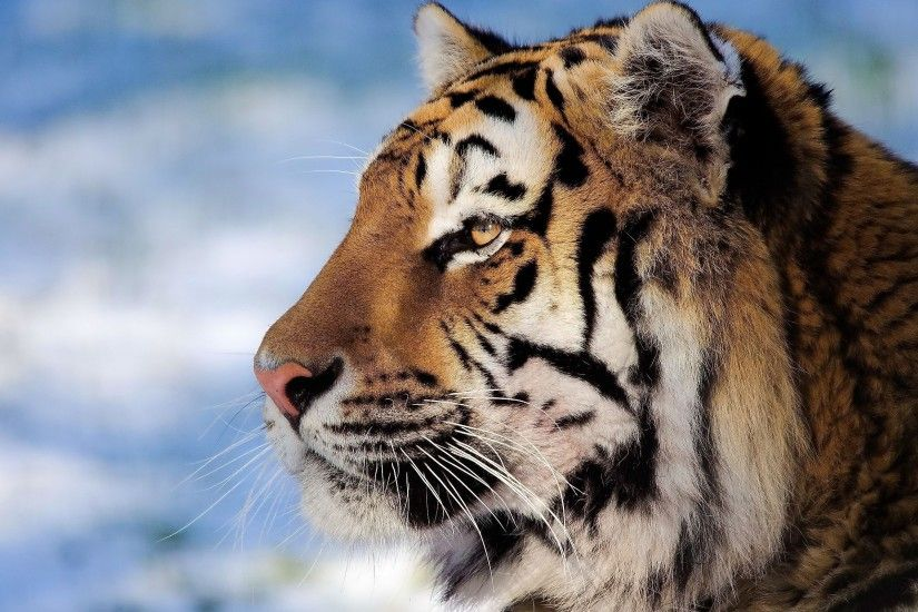 Closeup tiger face Wallpapers