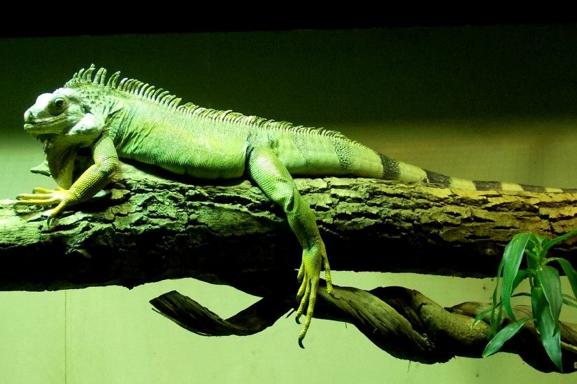 Green Chinese water dragon on branch