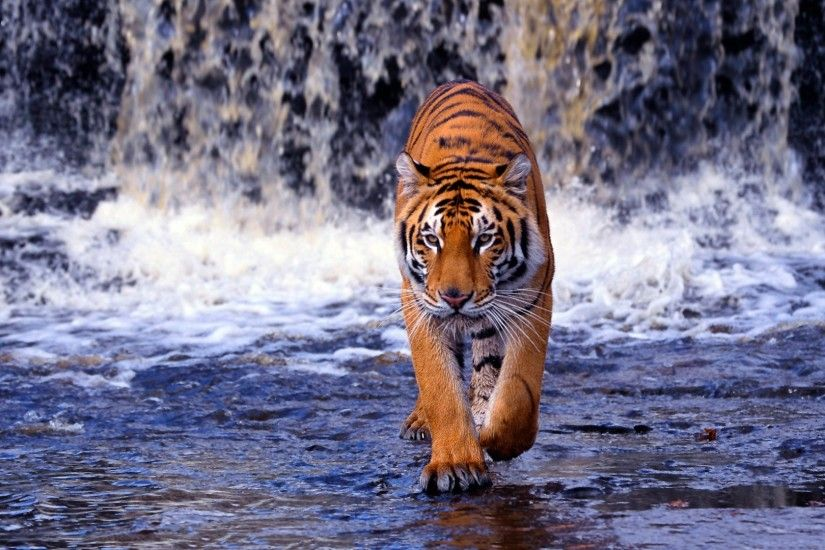 0 Tiger Backgrounds For Computer Group Tiger HD Animal Wallpapers