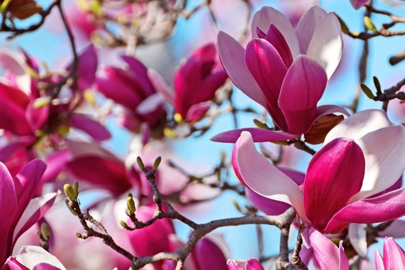 Wallpapers Flowers Magnolia Branches Closeup 2048x1152