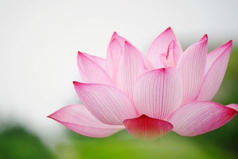 ... Beautiful Lotus Flower Wallpaper Lotus Flower Wallpapers – Full Hd  Wallpaper Search | Flowers ...