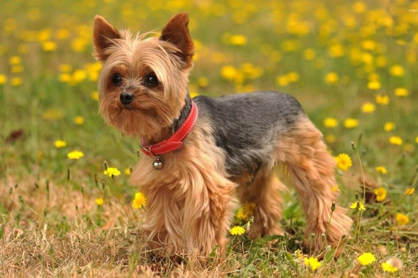 Yorkshire Terrier with a bell on its red collar wallpaper