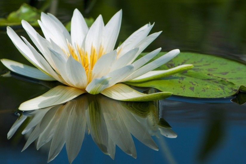 flowers lily pads reflections water lilies wallpaper background .