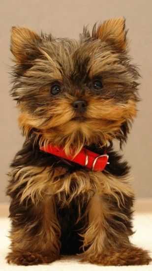 Yorkshire Terrier Cute Puppy Android Wallpaper ...