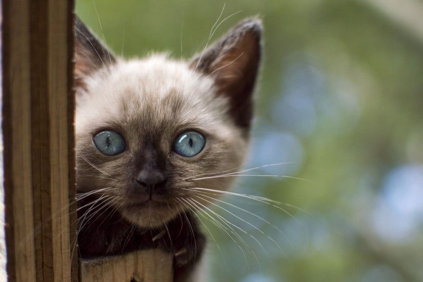 cat, Animals, Siamese Cats, Blue Eyes, Kittens Wallpapers HD / Desktop and  Mobile Backgrounds