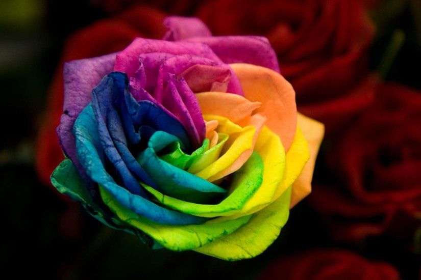 Colourful rose HD Samsung s6 wallpaper | Samsung S6 wallpaper NO.64