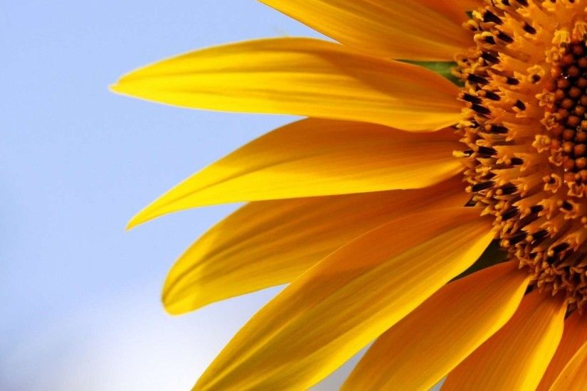 desktop wallpaper sunflower