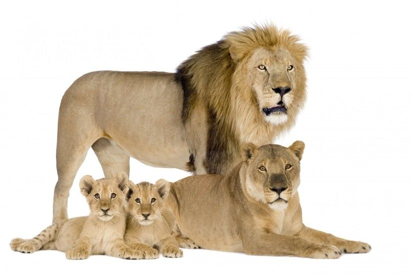 lions family lioness cubs leo white background