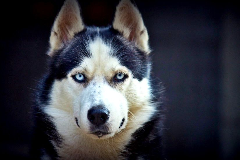 Siberian Husky Cool Wallpaper Wallpaper