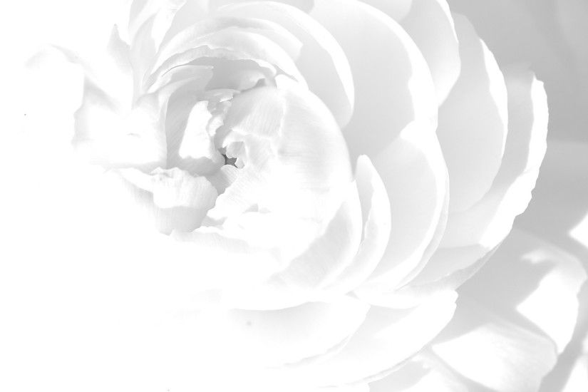White Rose Desktop Background. Download 2560x1440 ...