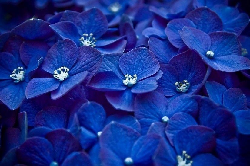 hydrangea flower wallpaper
