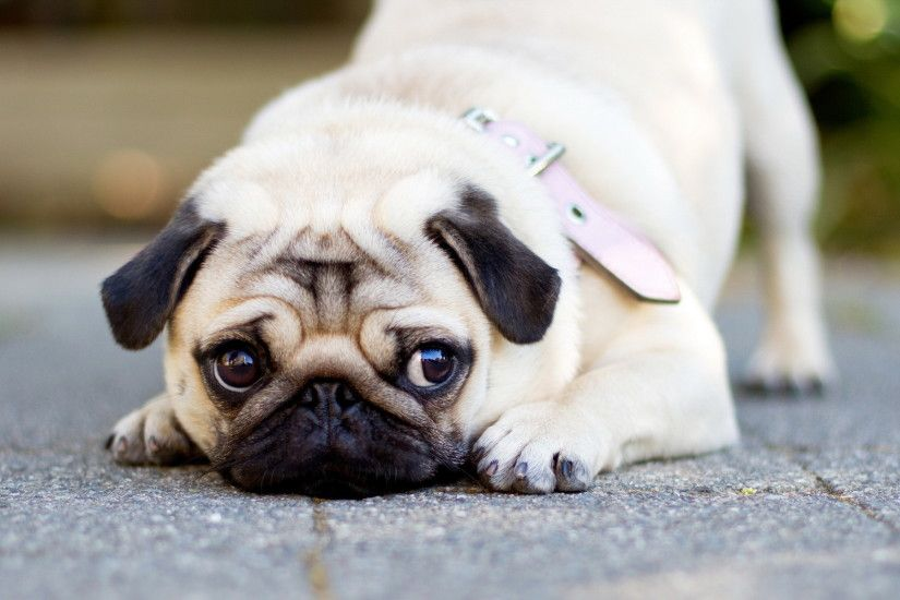 Photos-Cute-Pug-Backgrounds
