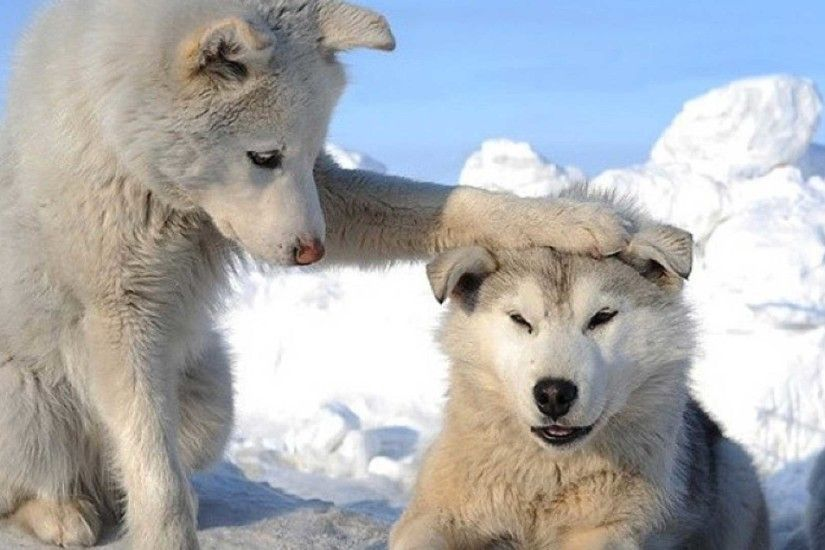 Playing Siberian Husky dogs photo and wallpaper. Beautiful Playing .