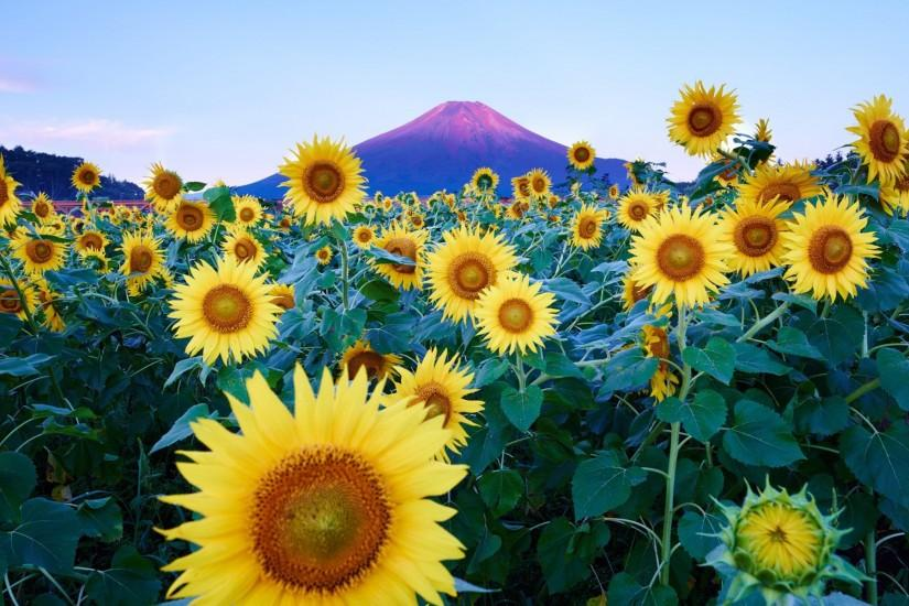 best sunflower background 1920x1200 for android tablet