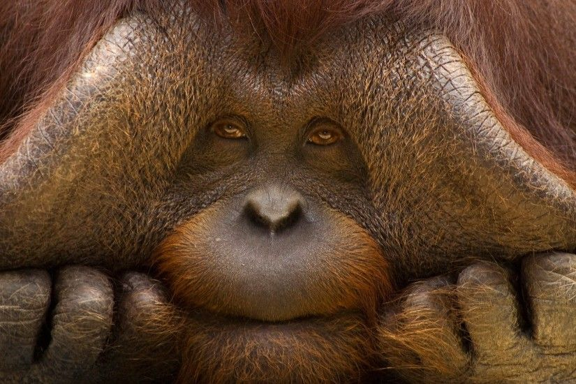 Orangutan high quality wallpapers