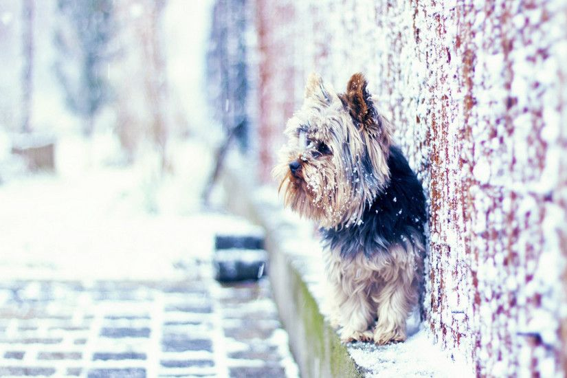 Yorkshire Terrier on the snowy street wallpaper