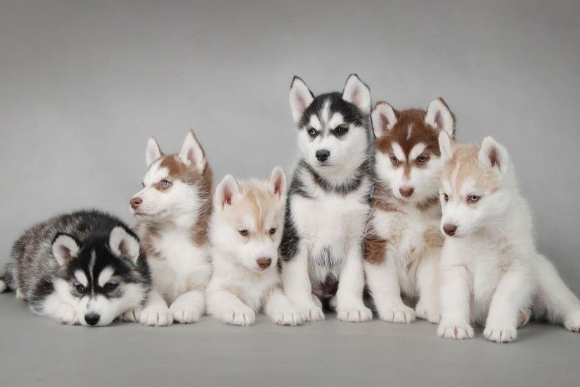 Siberian Husky Wallpaper 20779