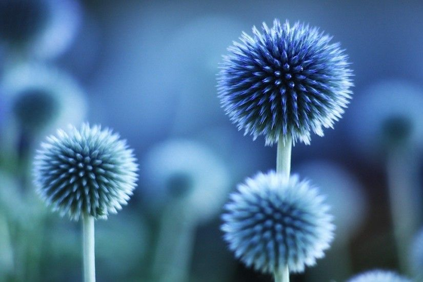 ... Blue Flower HD Background ...