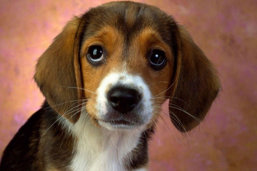 Puppy Eyes Beagle Wallpapers | HD Wallpapers