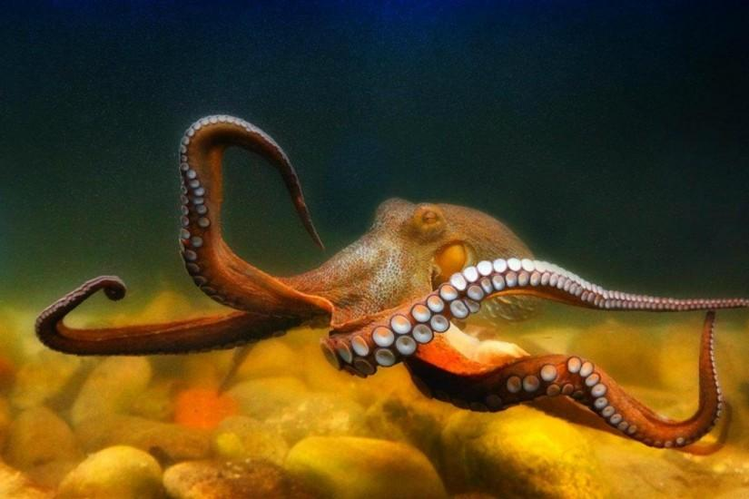 OCTOPUS sealife underwater ocean sea wallpaper